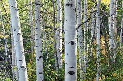 "Jeffrey Vaughn - ""Aspen Trees Number"", Treescape Oil Painting on Stretched Canvas, Framed"