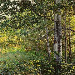 Thicket No. 40: Birches by Jeffrey Vaughn, Photorealistic Oil Painting on Canvas