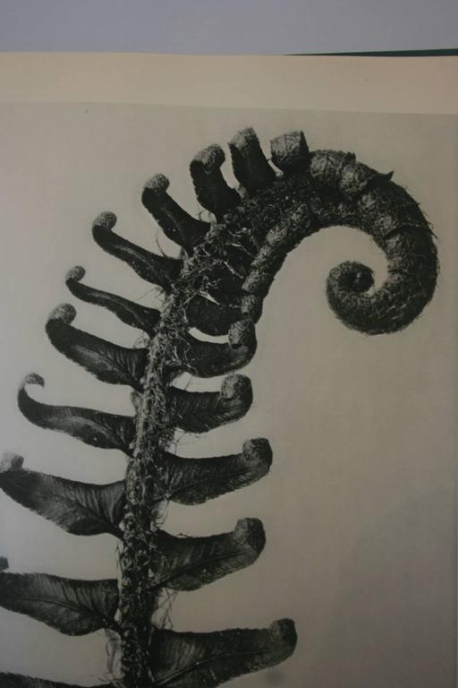 "Beautiful first edition Karl Blossfeldt Photogravure image of a Fern. The gravure is archivally matted in a cream matte size 16"" x 20""."
