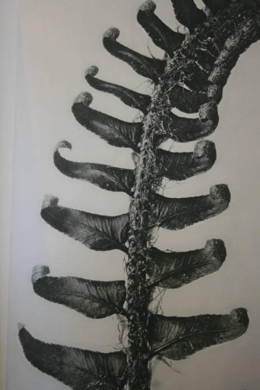 Original Karl Blossfeldt First Edition Photogravure, 1928 In Excellent Condition For Sale In Hudson, NY