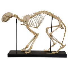 Early 20th Century Cat Skeleton