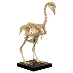 Early 20th Century Rooster Skeleton