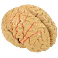 Human Brain Model, 1930s