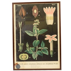 Coloured Botanical Lithograph Bohemian Manufacture of the 1930s