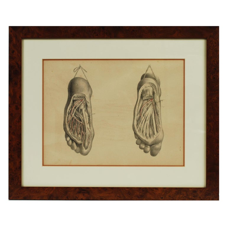 Antique Lithograph Depicting the Dissection of a Foot