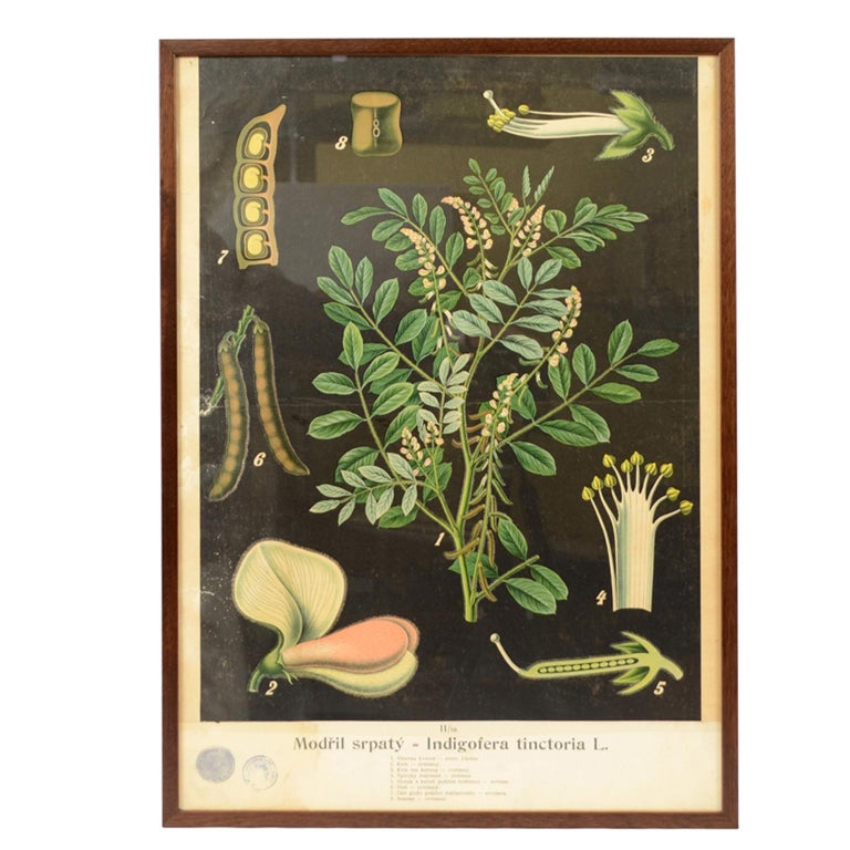 Colored Botanical Lithograph made in the 1930s