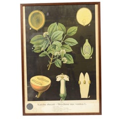 Botanical Lithography made in the thirties