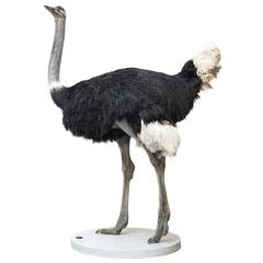 Common Ostrich Fine Taxidermy Object by Sinke & Van Tongeren