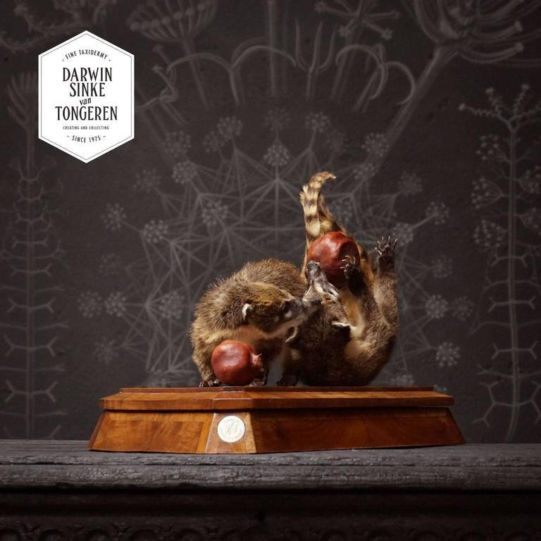 Dutch Duo of Fine Taxidermy Ring-Tailed Coatis by Sinke & Van Tongeren For Sale