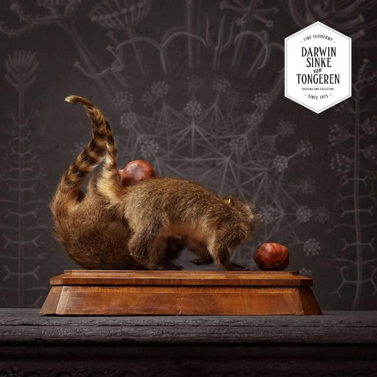 Duo of Fine Taxidermy Ring-Tailed Coatis by Sinke & Van Tongeren In Excellent Condition For Sale In Haarlem, NL