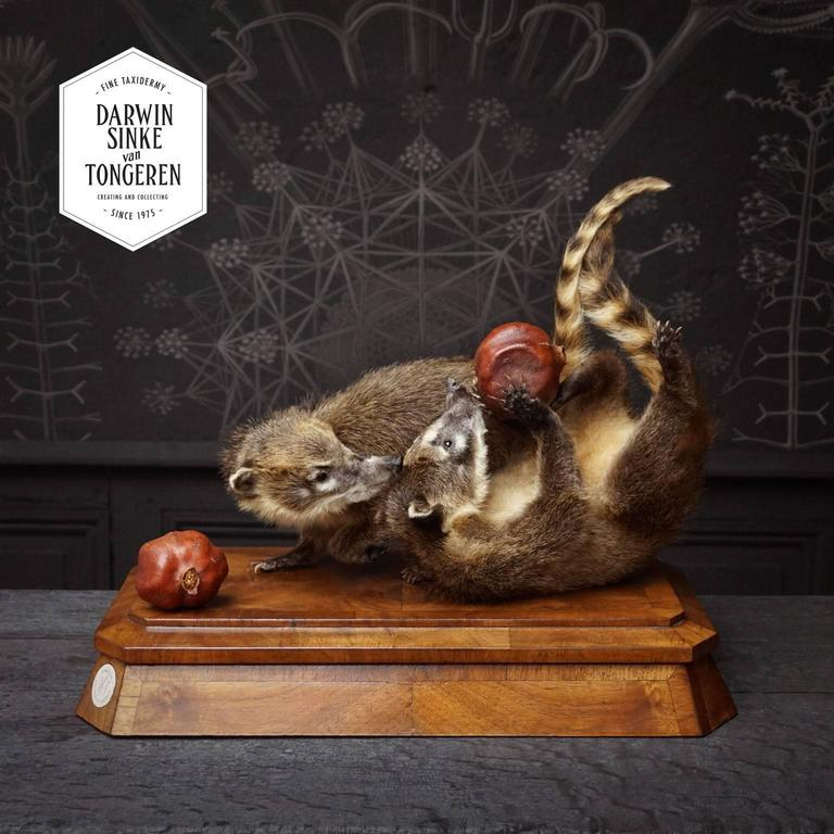 Contemporary Duo of Fine Taxidermy Ring-Tailed Coatis by Sinke & Van Tongeren For Sale