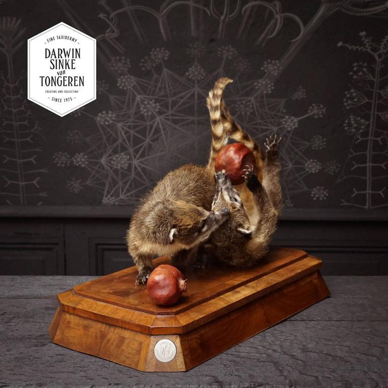 Duo of Fine Taxidermy Ring-Tailed Coatis by Sinke & Van Tongeren For Sale 1