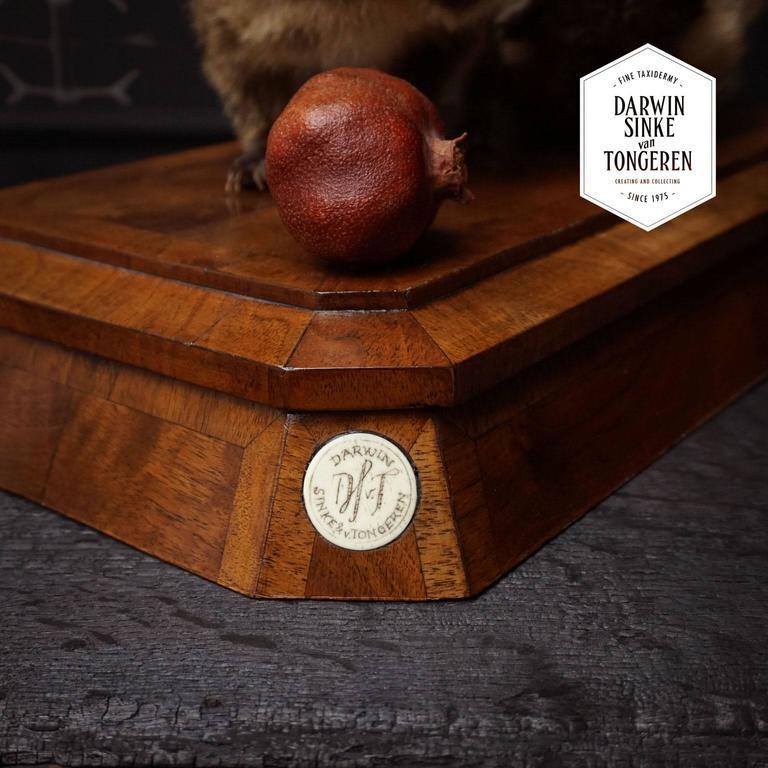 Duo of Fine Taxidermy Ring-Tailed Coatis by Sinke & Van Tongeren For Sale 5