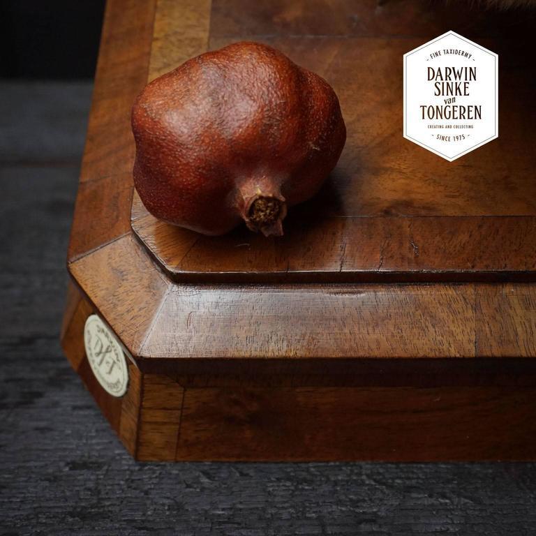 Duo of Fine Taxidermy Ring-Tailed Coatis by Sinke & Van Tongeren For Sale 4