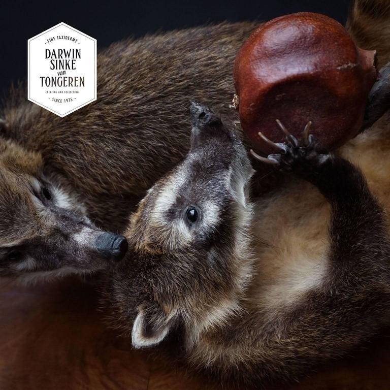 Duo of Fine Taxidermy Ring-Tailed Coatis by Sinke & Van Tongeren For Sale 3