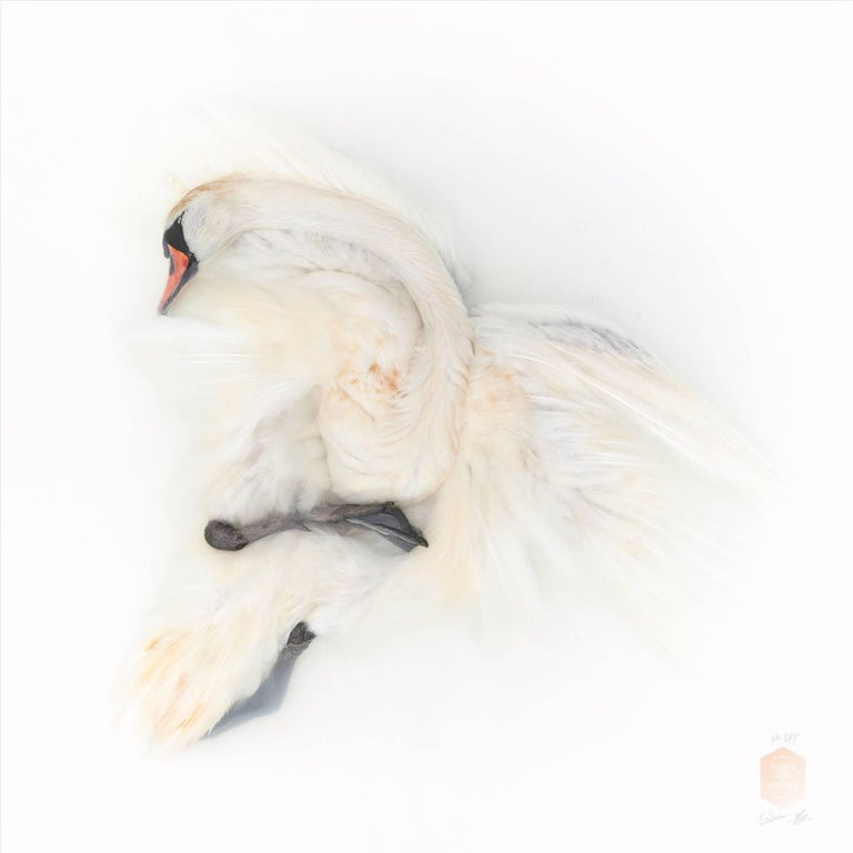 Art Print Titled 'Unknown Pose by Mute Swan II' by Sinke & Van Tongeren