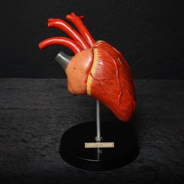 Five 1950s German Anatomical VEB SVL Models of Animal Hearts For Sale 4