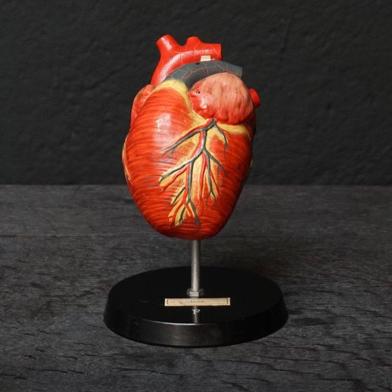 Five 1950s German Anatomical VEB SVL Models of Animal Hearts For Sale 6