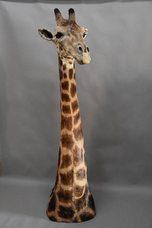 A rare and superb example of a freestanding 20th century African taxidermy giraffe head and neck.  The giraffe is an African mammal and is the tallest living terrestrial animal, the latin name 'camelopard' refers to the similarities to both the