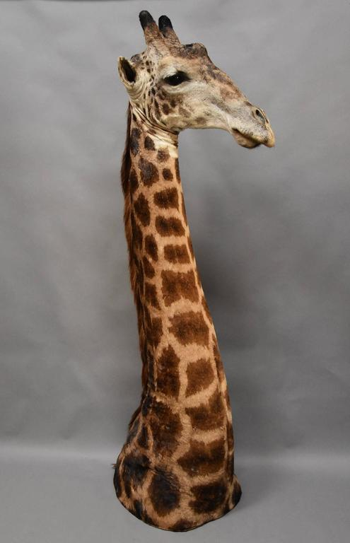 Rare Freestanding 20th Century African Taxidermy Giraffe Head and Neck In Good Condition For Sale In Suffolk, GB