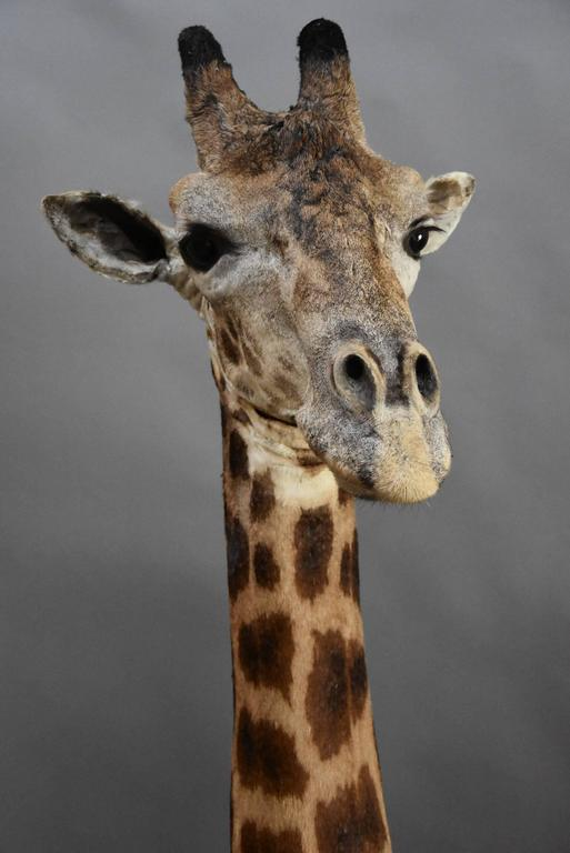 Animal Skin Rare Freestanding 20th Century African Taxidermy Giraffe Head and Neck For Sale