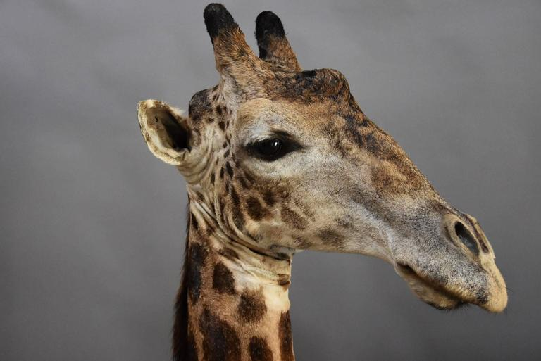 Rare Freestanding 20th Century African Taxidermy Giraffe Head and Neck For Sale 1