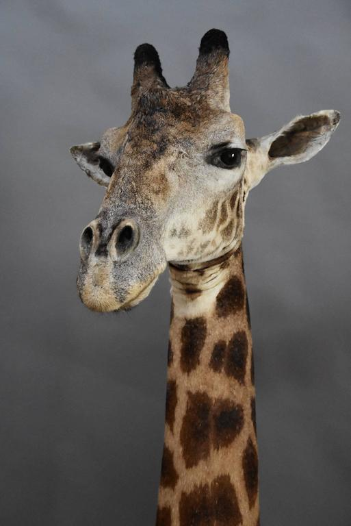 Rare Freestanding 20th Century African Taxidermy Giraffe Head and Neck For Sale 2