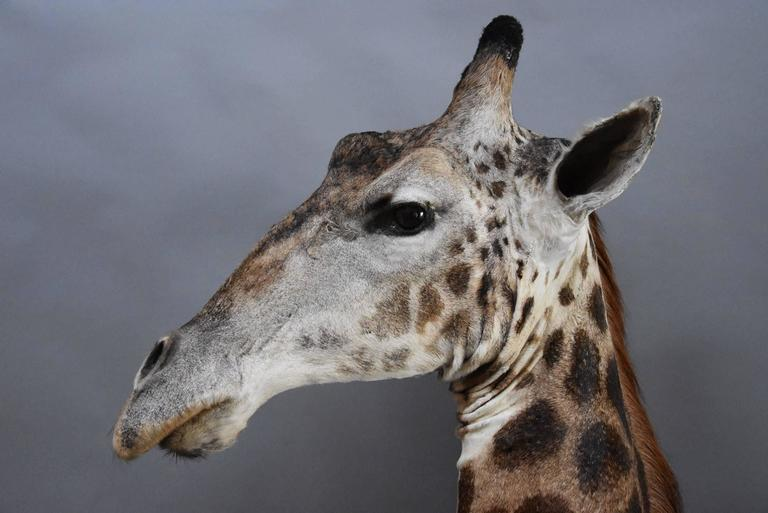 Rare Freestanding 20th Century African Taxidermy Giraffe Head and Neck For Sale 3