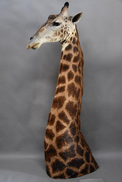 Rare Freestanding 20th Century African Taxidermy Giraffe Head and Neck For Sale 4
