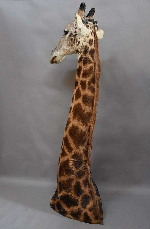 Rare Freestanding 20th Century African Taxidermy Giraffe Head and Neck For Sale 5