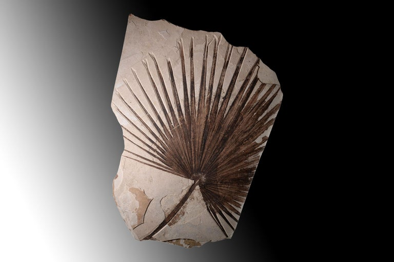 Giant Green River Palm Frond Fossil Leaf In Excellent Condition For Sale In London, GB