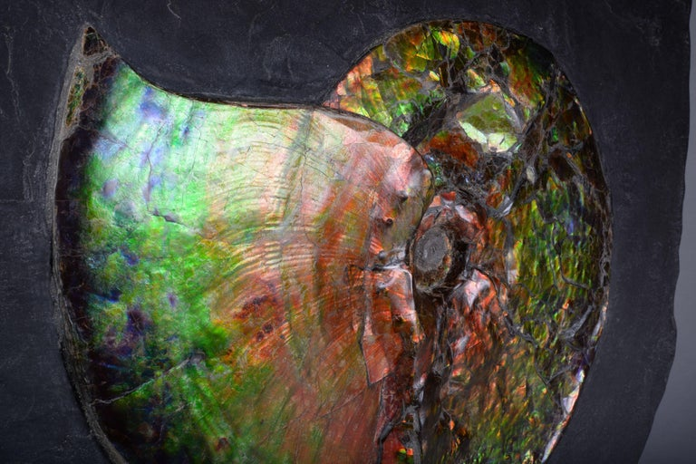 Canadian Dazzling Opalescent Ammonite Fossil For Sale