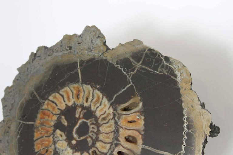 Ammonite Discs, Pair In Excellent Condition For Sale In Vancouver, BC