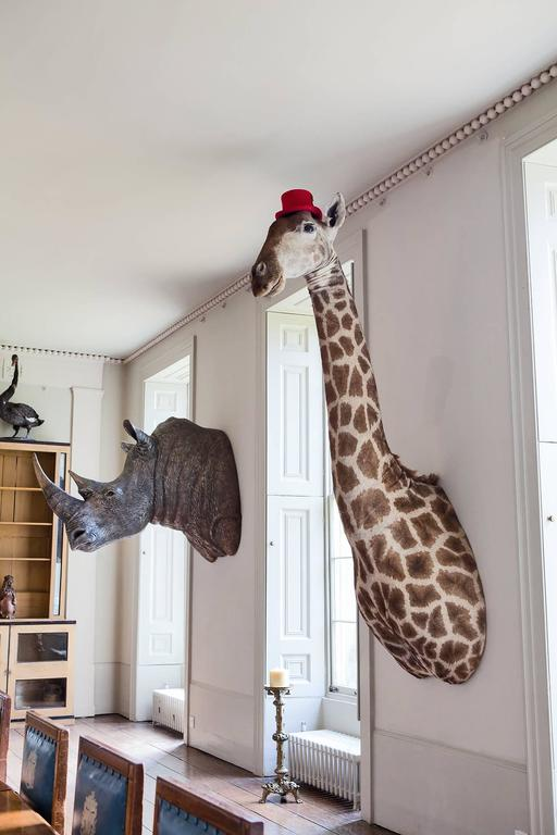 A large taxidermy giraffe mount including upper bust / torso. An attractive taxidermy piece of impressive scale.
