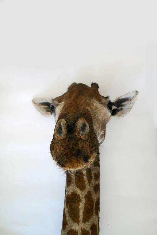 20th Century Taxidermy Giraffe Bust Mount For Sale