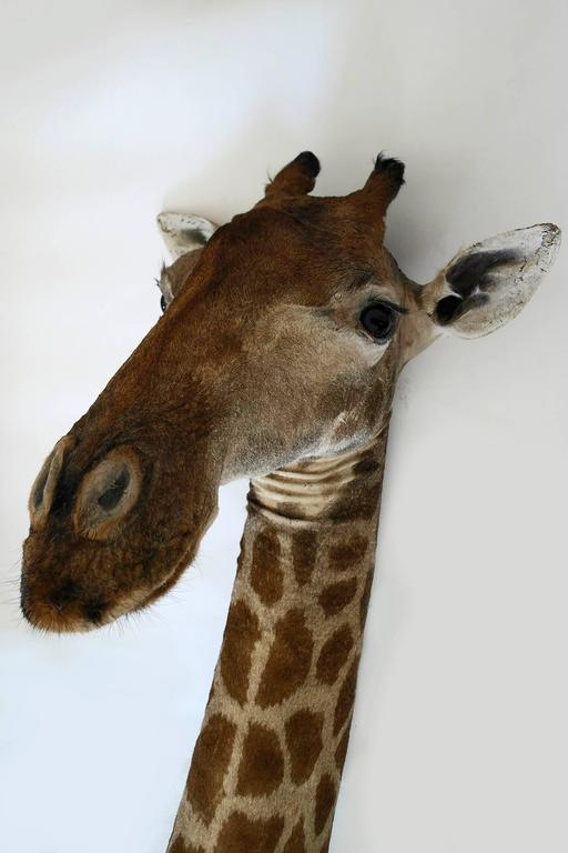African Taxidermy Giraffe Bust Mount For Sale