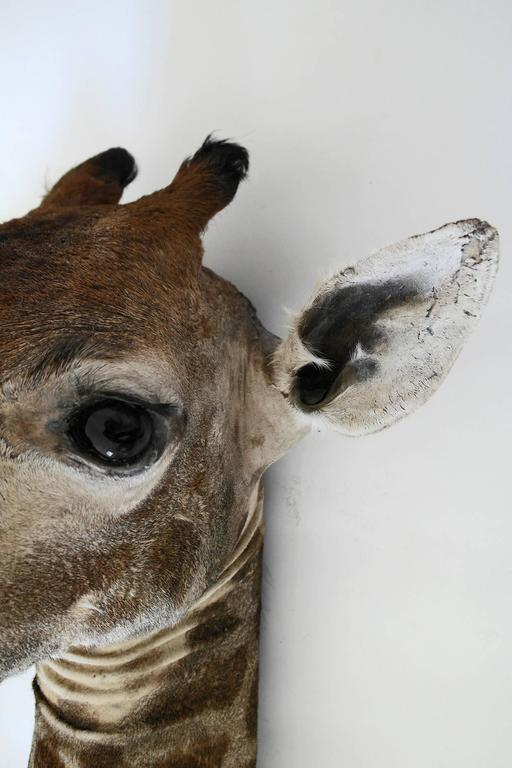 Taxidermy Giraffe Bust Mount For Sale 1