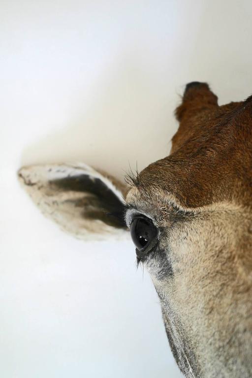 Taxidermy Giraffe Bust Mount For Sale 3