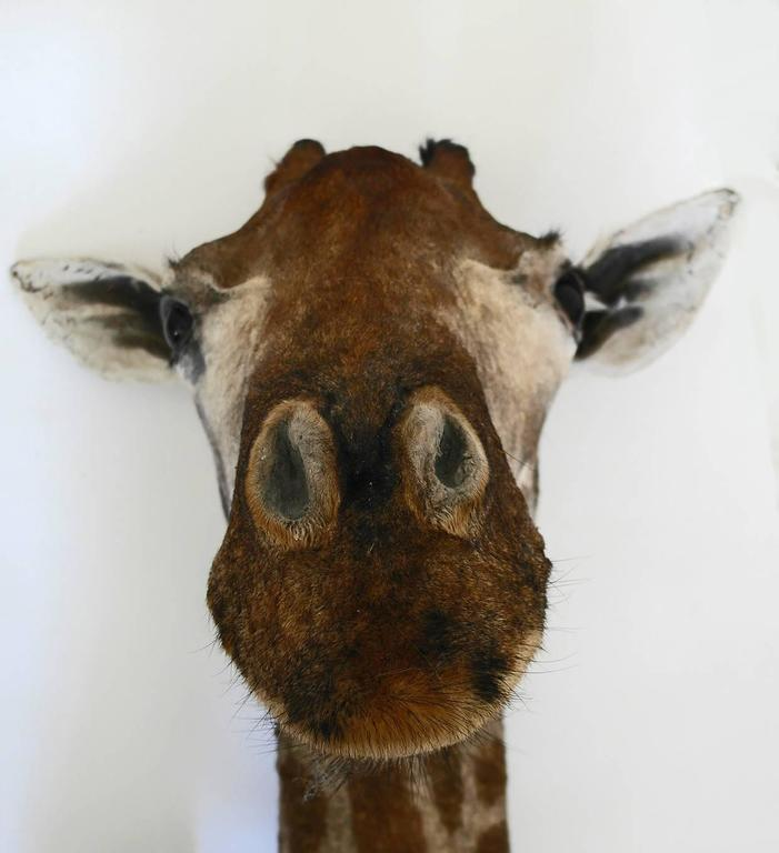 Taxidermy Giraffe Bust Mount In Good Condition For Sale In Oxfordshire, GB