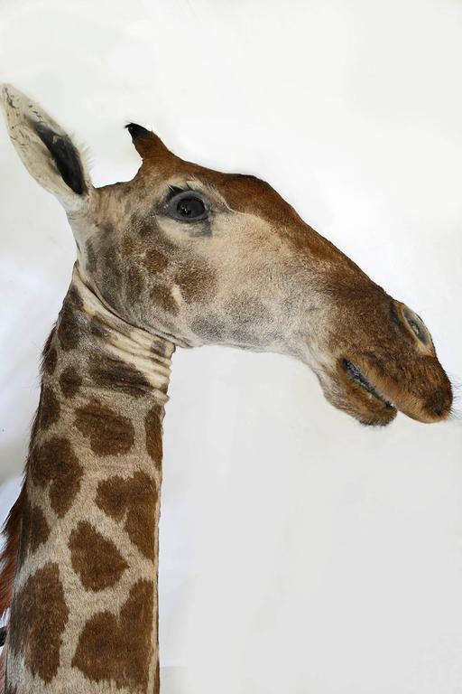 Taxidermy Giraffe Bust Mount For Sale 2