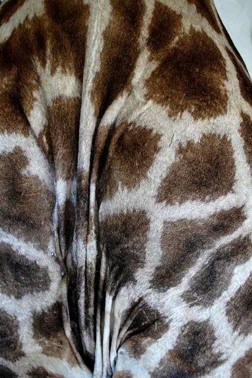Taxidermy Giraffe Bust Mount For Sale 4