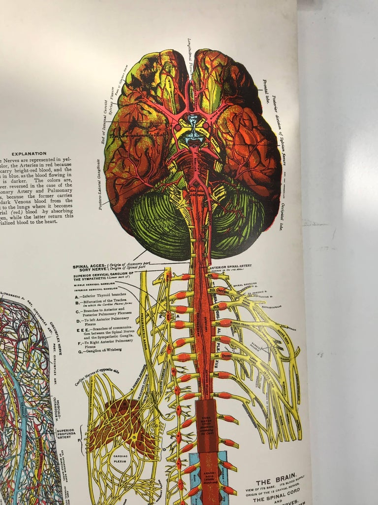 Vintage Anatomical Pull Down Chart Nervous Systems Gh