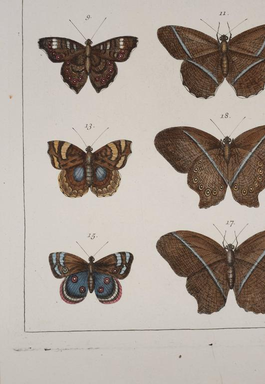 Dutch Antique Albertus Seba Pair 18th Century Hand-Colored Engravings Butterflies For Sale