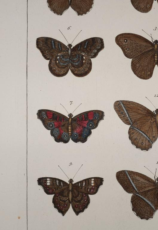 Paper Antique Albertus Seba Pair 18th Century Hand-Colored Engravings Butterflies For Sale