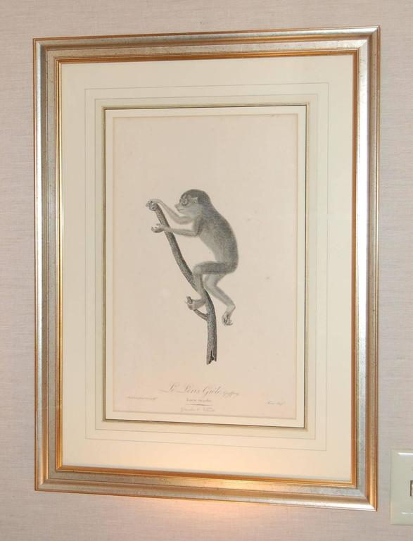 Large French matted print of a monkey in silver leaf frame, excellent condition with minor foxing.