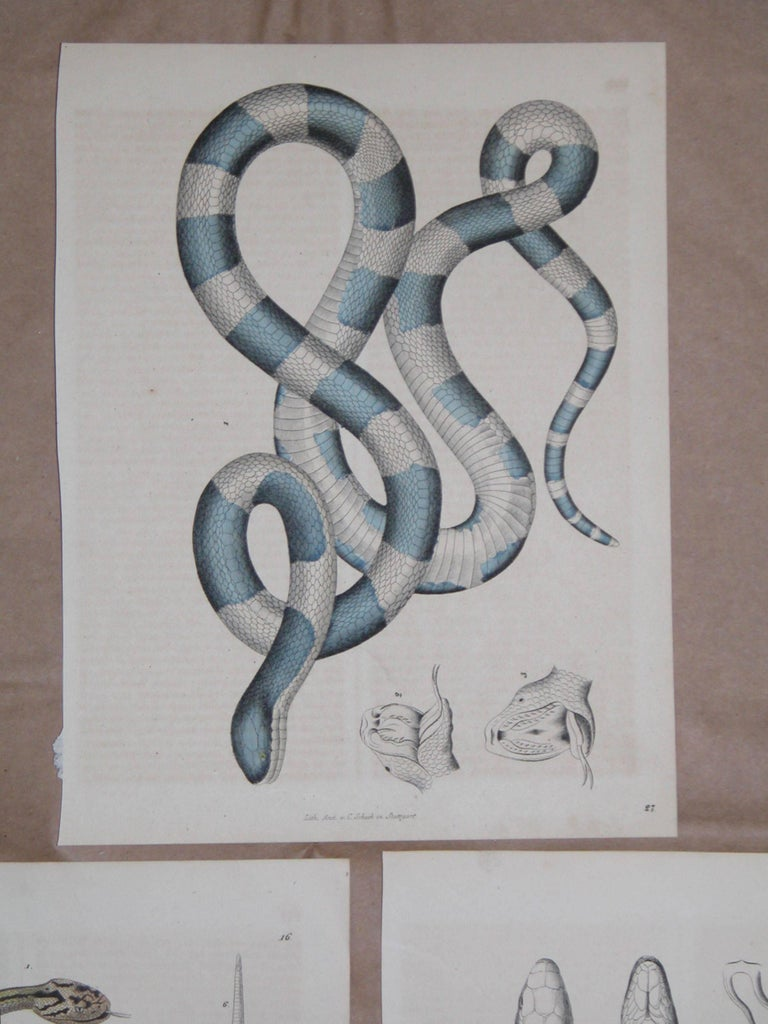Set of three prints of snakes all mid-19th century in excellent condition, measures: 7 3/4 inches x 10 inches.