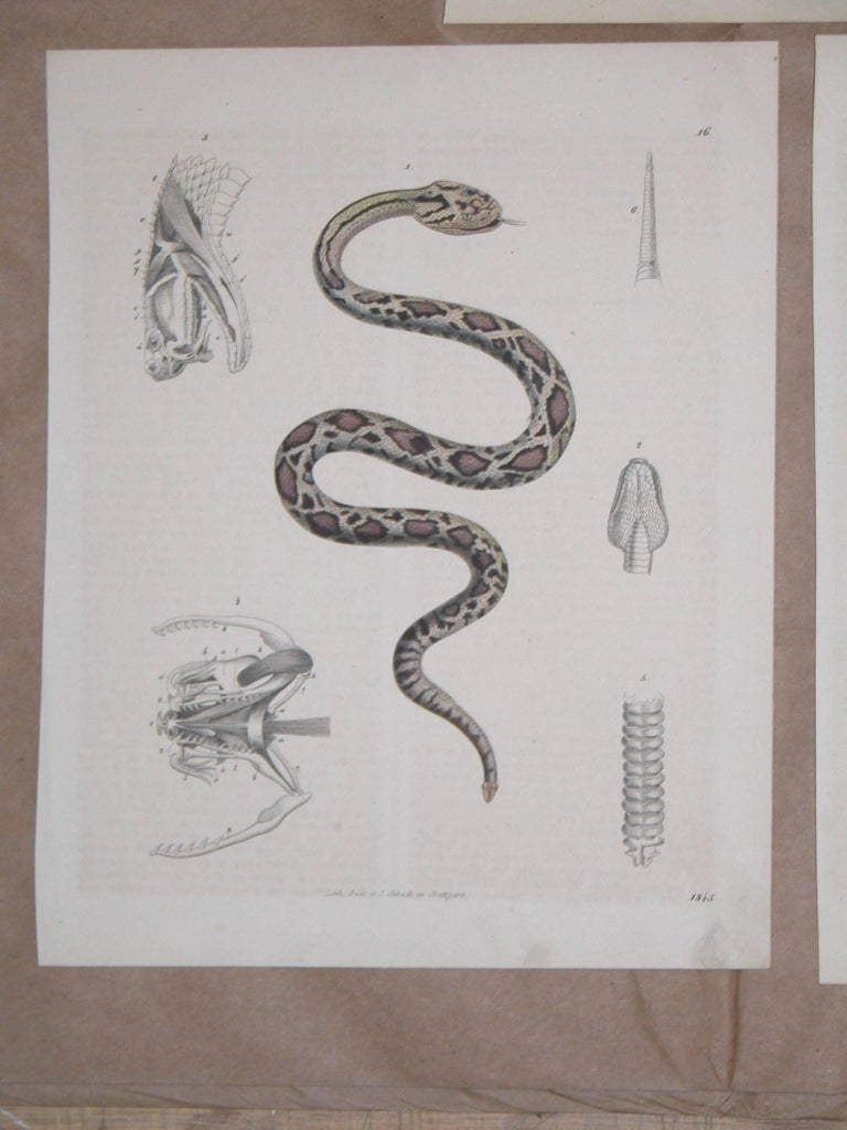 Early Victorian Set of Three Mid-19th Century Prints of Snakes by Anst. V. C. Schach, Germany For Sale