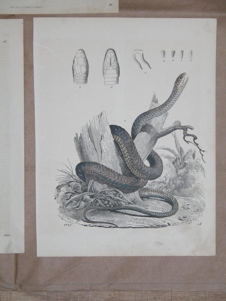 Set of Three Mid-19th Century Prints of Snakes by Anst. V. C. Schach, Germany In Excellent Condition For Sale In Pittsburgh, PA