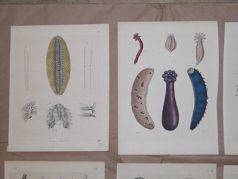 Set of six colored prints of sea creatures all, circa 1850 by Anst. v. C. Schach, 7 3/4 x 10 inches.