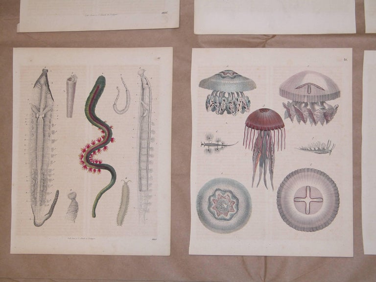Early Victorian Set of Six German Mid-19th Century Prints of Various Deep Sea Creatures For Sale